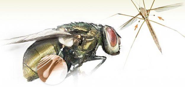 Жужжальца мухи