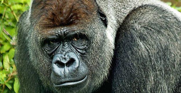 Час в компании равнинных горилл