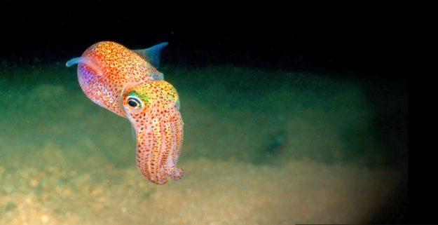 Орган свечения гавайского короткохвостого кальмара