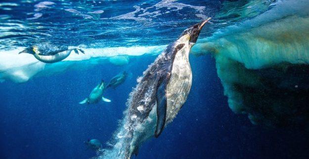 Перьевое одеяние императорского пингвина