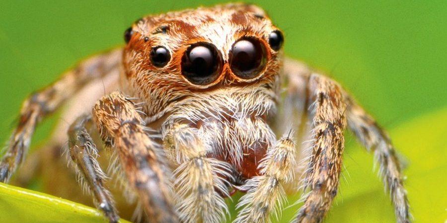 Удивительные глаза паука-скакуна