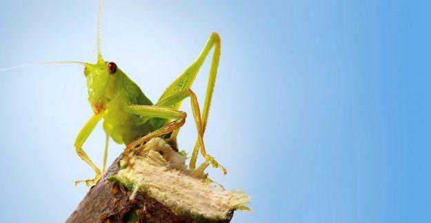 Удивительный слух тропического кузнечика