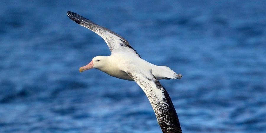 Экономия усилий странствующего альбатроса