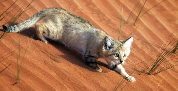 Знакомьтесь неуловимый барханный кот