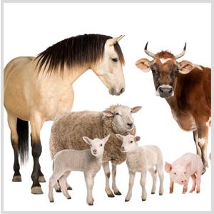 Сельхоз скот