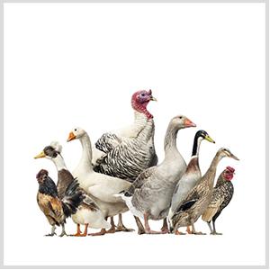 Сельхоз птица